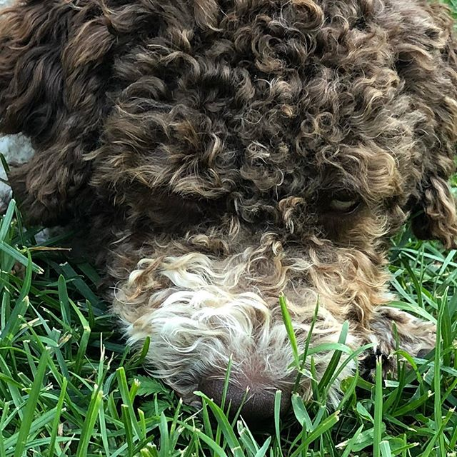 Touching the green, green grass of home.#tomjones #lagottoromagnolo #lagotto #pappajagvillhaenitalienare #dogsofinstagram